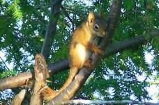 red squirrel, 8 Nov 2011