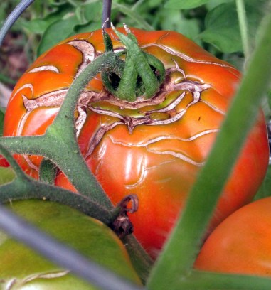 tomato, Aug. 2014