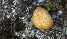 Scleroderma citrinum fungus, 18 Aug 2014
