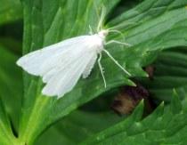 Lesser maple spanworm moth (Speranza Pustularia) on trollius leaf, July 2013