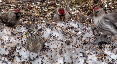 three red polls and a pine siskin, April 2015