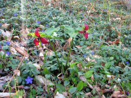 trillium and periwinkle, May 2014