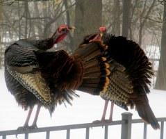 turkeys grooming, April 2015