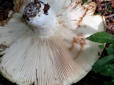 underside Lactarius fungus, 12 Aug 2014