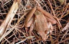 wood frog, May 2015