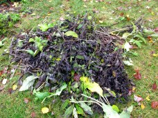 pile of comfrey leaves and stalks