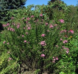 pinkasterssideyardgarden18Sept2015