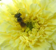 little pollinator in vanilla marigold, 31 Aug