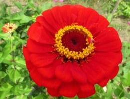 red zinnia, 31 Aug