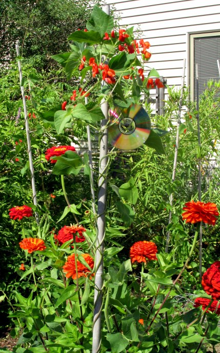 red zinnias and scarlet runner bean blooms, 31 Aug