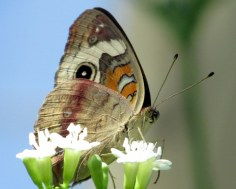 Buckeye (Junonia coenia), I think