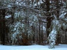 pineswithsnowice9dec2014