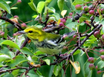 black-throated green warbler, Aug . 2014