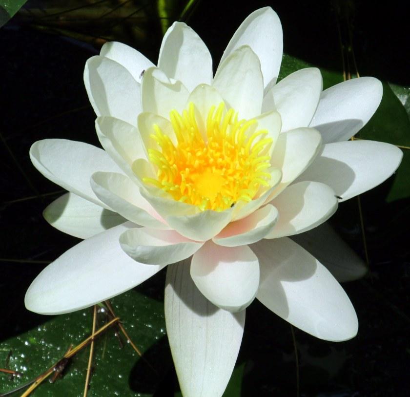 waterlily in bloom