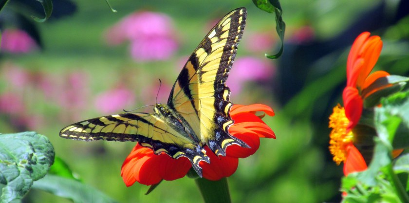 swallowtail butterfly on Mexican sunflower