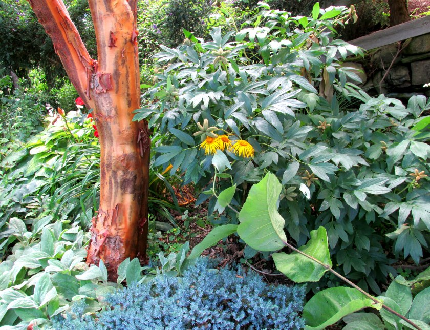 tree trunk, elecampane in bloom, blue star juniper, near studio (I think)