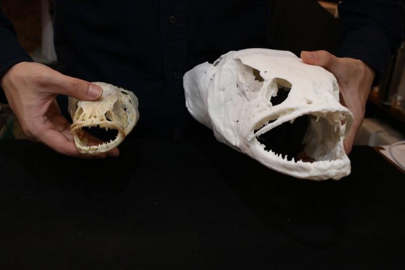 カムルチー(雷魚)の頭骨