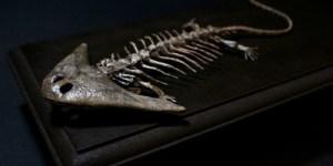 ディプロカウルス