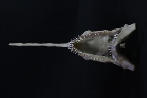 ミツクリザメ
