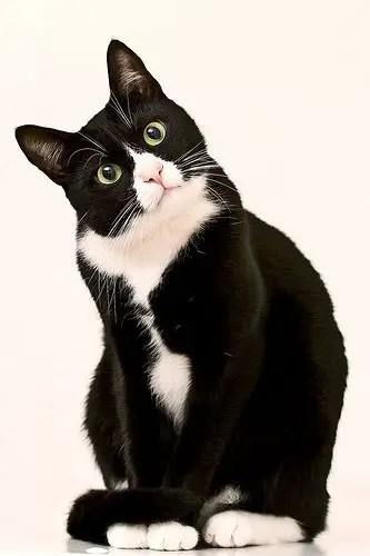 Gato preto e branco