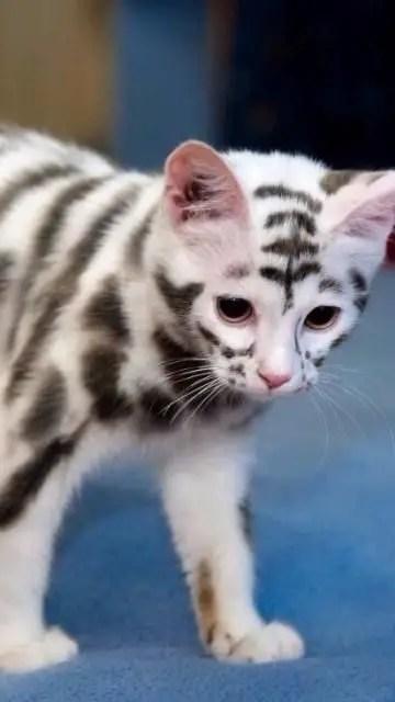 Gato parecido com tigre