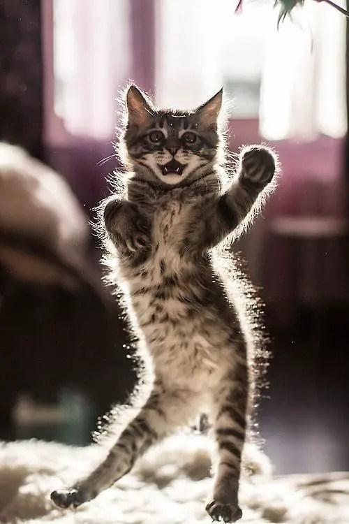 Gato dançando