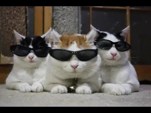 Três gatos com óculos