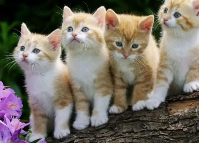 Quatro filhotes de gatos