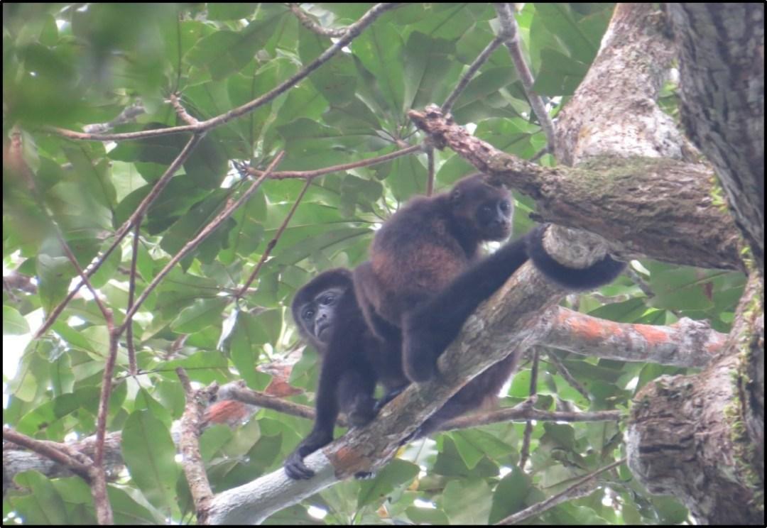 monos reproduciendose (Medium)