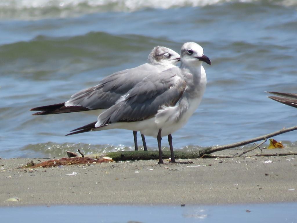 Playerito (Calidris alba) pertenece a la familia SCOLOPACIDAE.