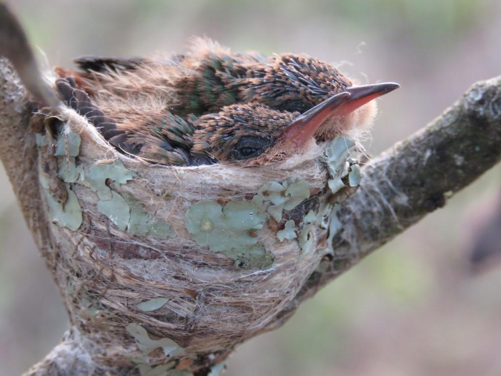 Colibri pico rojo (Amazilia tzacatl) pertenece a la familia TROCHILIDAE