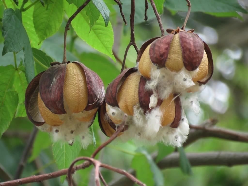 Guano ( Ochroma pyramidale (Cav. ex Lam.) Urb. ) perteneciente a la familia Malvaceae.