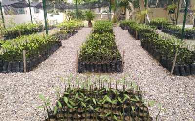 Vivero Municipal Profa. Mélida Urbina cuenta con 11 mil plantas de Mangle en crecimiento