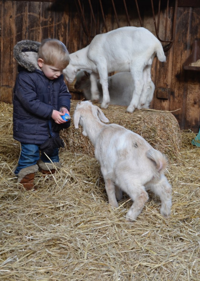 Toddler feeding a goat at the Geitenboerderij Ridammerhoeve (goat farm) in the Amsterdam Forest (Amsterdamse Bos)