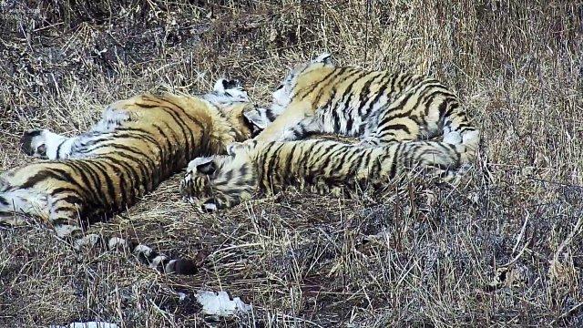 Павлик и Елена с матерью в Центре реабилитации тигров и других редких животных