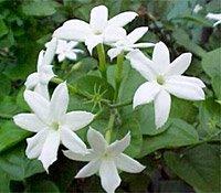عطرُ الحبيب Jasmine Indian Flower