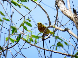 Yellow warbler in the treetop.