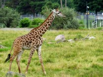 The newest member of the zoo's giraffe family.