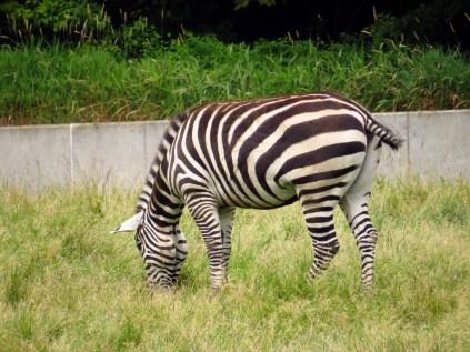 Grant's zebra.