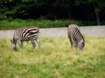 Grants zebras.