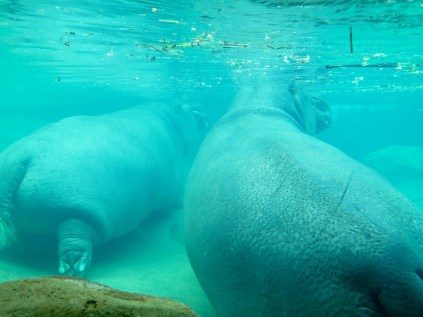 Hippos hanging out in the hippoquarium.