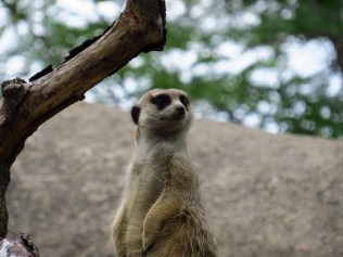 Meerkat keeps a sharp eye out.