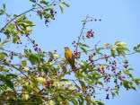 Female oriole (?) or scarlet tanager?