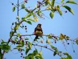 Juvenile eastern towhee eating berries.