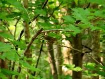 Ovenbird.
