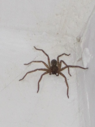 """Bob-Ji"" my pet spider in Simla. don't be scared, he guarded my bathroom well!"
