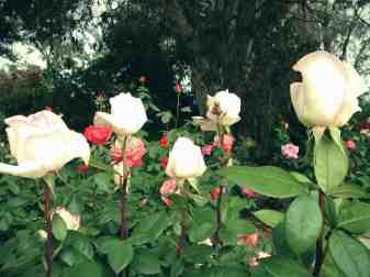 Roses6