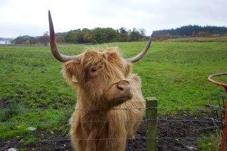 A hairy coo (highland cow)!