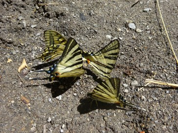Yellow butterflies sunbathing at the edge of the Bain de Semite