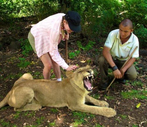 A woman, accompanied by a trainer, pets a lion in Mauritius